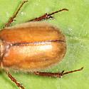 June Beetle - Phyllophaga tristis - female