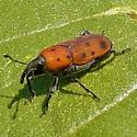 Weevil - Rhodobaenus tredecimpunctatus