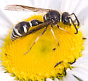 another wasp, I think... - Eumenes