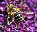 flower fly - Eristalis arbustorum