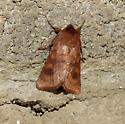 Rusty Moth - Nephelodes minians