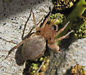 Another A. californica - Anyphaena californica - female