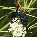 metallic blue wasp - Pepsis mildei - male