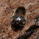 Minute hooded beetle - Clypastraea lepida
