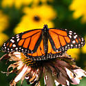 Queens butterfly? - Danaus plexippus - male