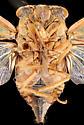 Cicada, male ventral - Tibicen linnei - male