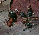 Camponotus planatus