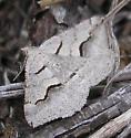 Moth - Dorsal view - Digrammia decorata
