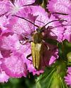 Gold Beetle - Lepturobosca chrysocoma