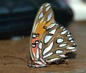 Shiny Butterfly - Agraulis vanillae - female