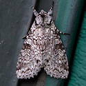 Stormy Arches Moth - Polia nimbosa