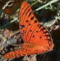 speckled orange butterfly - Agraulis vanillae