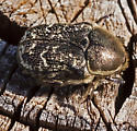 BeetleScarabPossibly012713_8770 - Euphoria sepulcralis