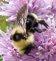 Bombus (Psithyrus) cf insularis - Bombus insularis - female