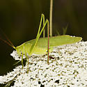 Katydid - Scudderia - female