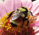 Hunt's Bumble Bee? - Bombus huntii