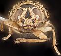 Beetle, anterior - Pachybrachis obsoletus