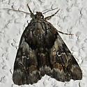 Unknown Moth-8 - Catocala blandula