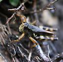 Grasshopper on Mont Albert, Quebec - Melanoplus fasciatus - male