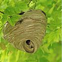 Bald-faced Hornet - Dolichovespula maculata ? - Dolichovespula maculata