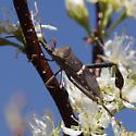 Western Leaf-footed Bug_Leptoglossus clypealis? - Leptoglossus clypealis