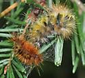 Caterpillar(s) - Lophocampa argentata
