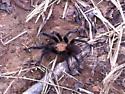 Texas Brown Tarantula Aphonopelma hentzi - Aphonopelma