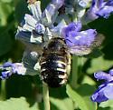 Bee for ID - Xylocopa tabaniformis - female