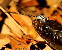 Blue-tipped dancer damselfly - Argia tibialis