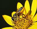 Genus Megachile - Leaf-cutting and Resin Bee? - Megachile inimica - female