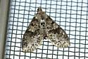 small brown & black speckled moth - Palpita magniferalis