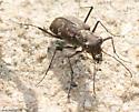 S-banded Tiger Beetle var. ascendens - Cicindelidia trifasciata
