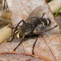 gold-faced black fly - Tachinomyia