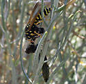 Skinning a caterpillar - Polistes dominula