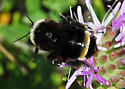 Take #2:Bombus californicus? - Bombus californicus