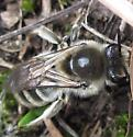 Bee - Colletes inaequalis - female