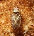 Bulrush Bug - Chilacis typhae
