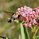 Clearwing Moth 1 - Hemaris diffinis