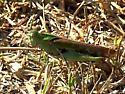 grasshopper sp.(green)  -- Chortophaga viridifasciata? - Chortophaga viridifasciata - female