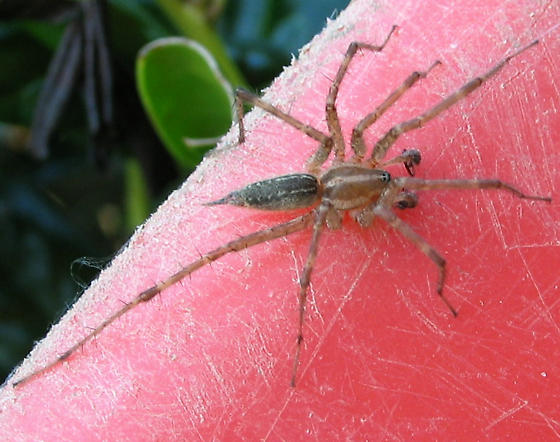 Grass Spider - Agelenopsis - male