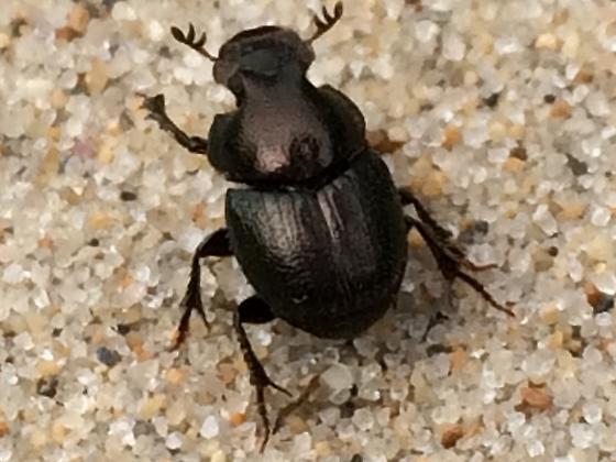 Scarab - Onthophagus orpheus - male