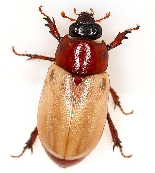 Scarab - Cyclocephala melanocephala