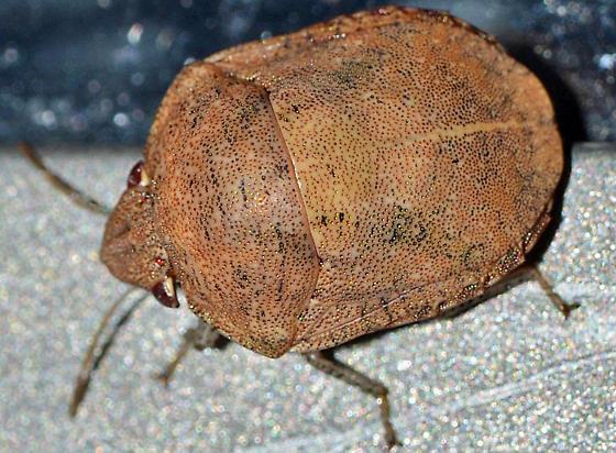 ? - Symphylus caribbeanus