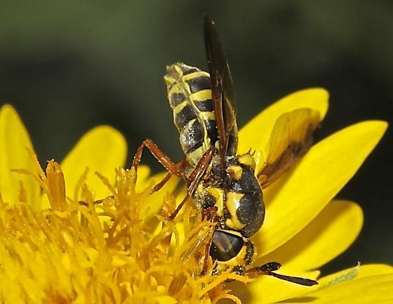 Hoverfly - Hoplitimyia constans - female