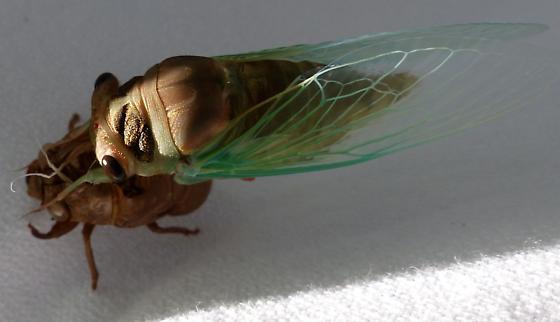 Which cicada? - Neotibicen lyricen