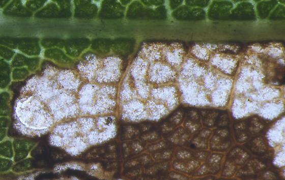 Nepticulidae, #1 mine on River Birch, underside exit crescent - Stigmella corylifoliella