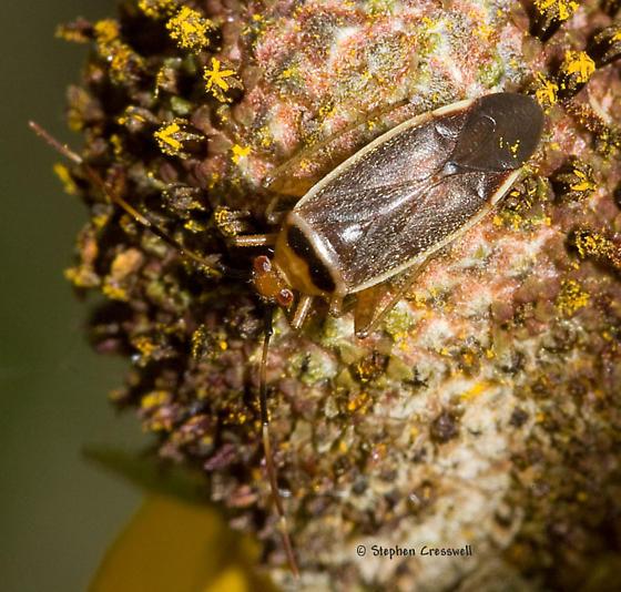 Bug on prairie flower - Adelphocoris rapidus