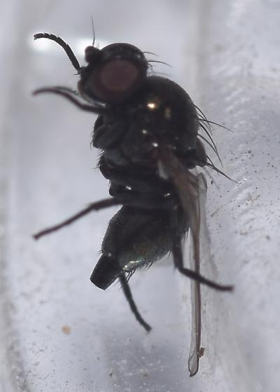 Fly with flat rear end - female
