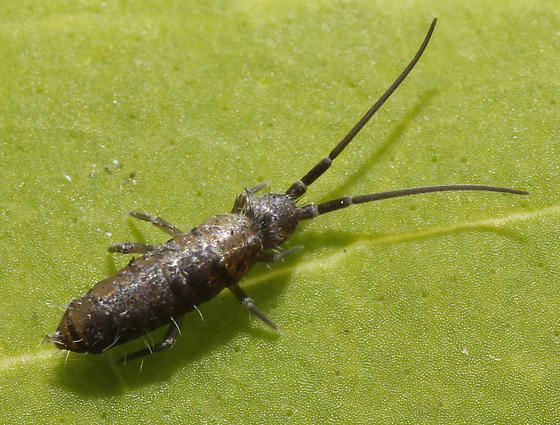 Pogonothellus sp? - Pogonognathellus