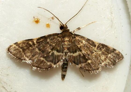 Micro Moth 1 - Anageshna primordialis